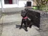 Patterdale Terrier, 7 months, black