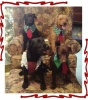 Patterdale Terrier, 1 to 6, Black, Chocolate, Red