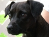 Patterdale Terrier, 5, black