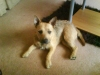 Patterdale Terrier, 2, tan and   black