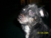 Patterdale Terrier, 8 YEARS, Black, Brown and White