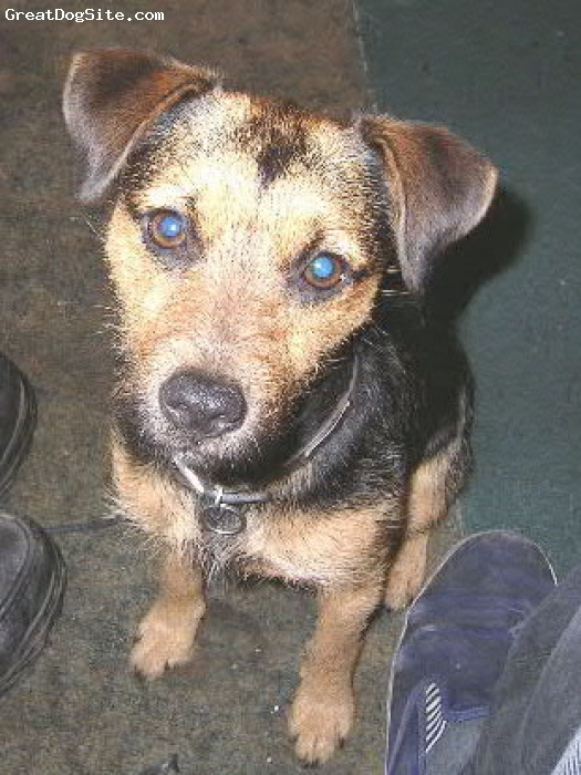 Patterdale Terrier, 1, Black and Tan, ...