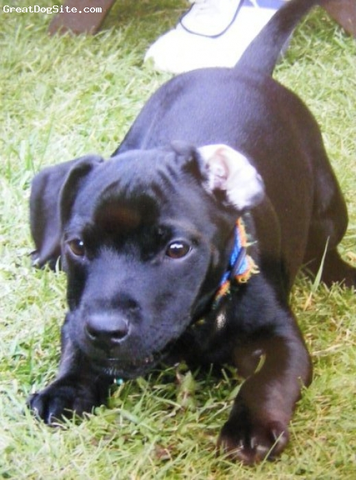 Patterdale Terrier, 19 weeks, black, Sam is a 19 week old Nutall Patterdale Terrier. He is very loving and loves a cuddle. When he is old enough i wish to Breed him so if theres any body out there intrested please keep an eye out for him.
