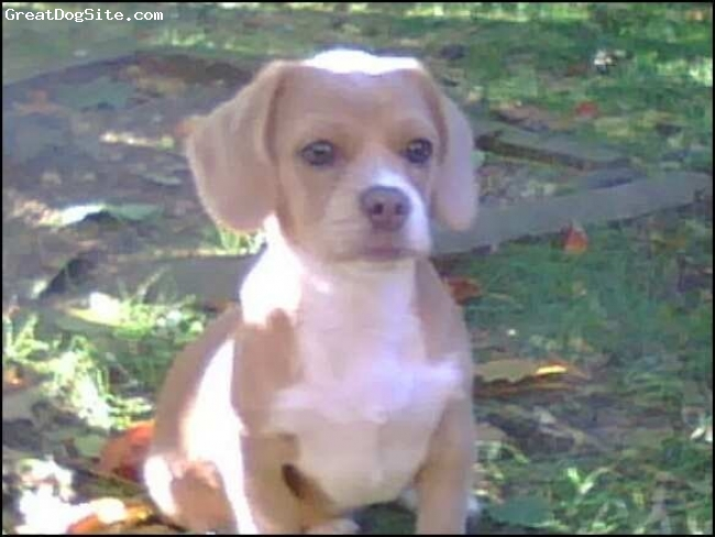 Peagle, 2 years old, tan/white, loves to play, is friendly and  loud. she is affectionate and gets along with other breeds.