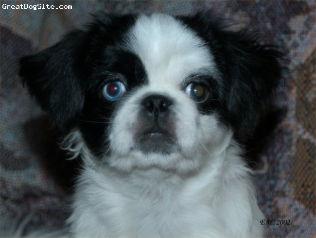 Peke-A-Poo, not specified, black and white, close up
