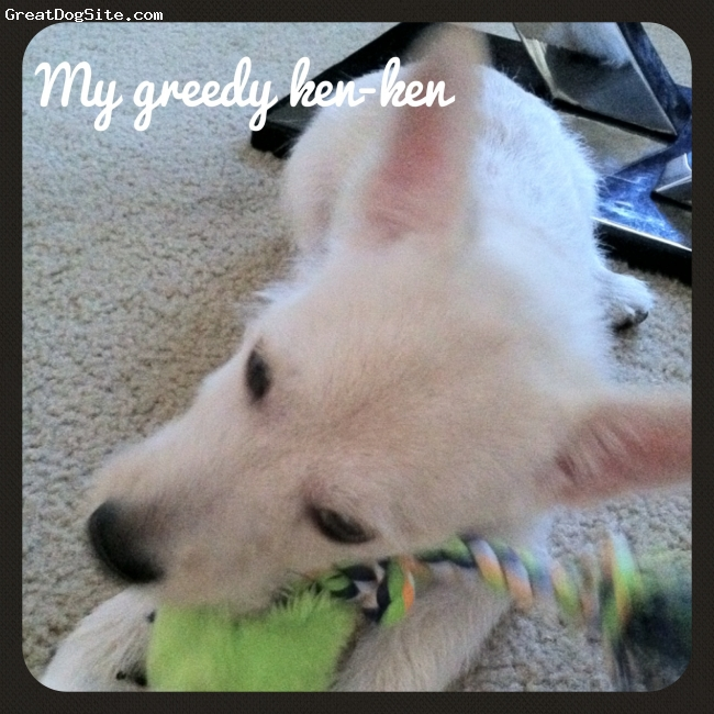 Peka-A-West, 4 mths, white, Cute as a button, lap dog, lots of energy and training semi difficult