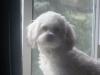 Peke-A-Chon, 11 months, white
