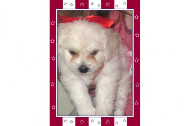 Peke-A-Chon, 6 weeks, white, very friendly