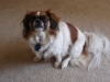 Peke-A-Pap, 5 years old, White with Brown
