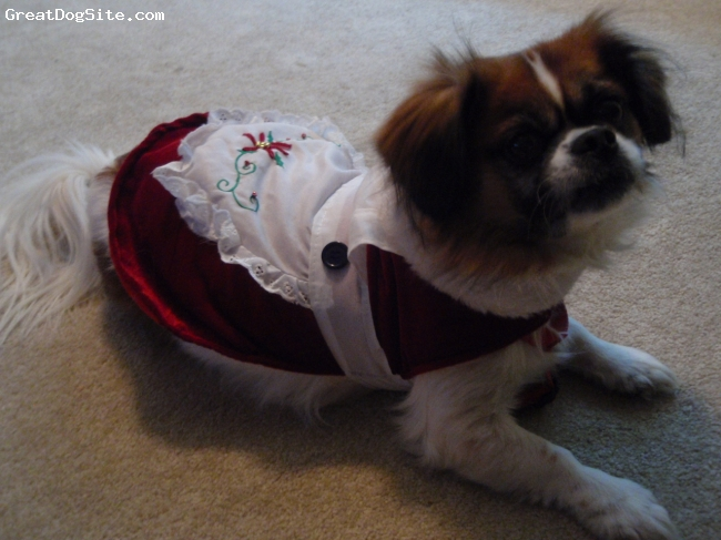 Peke-A-Pap, 7 years old, White with Brown, Celebrating Christmas in her new dress