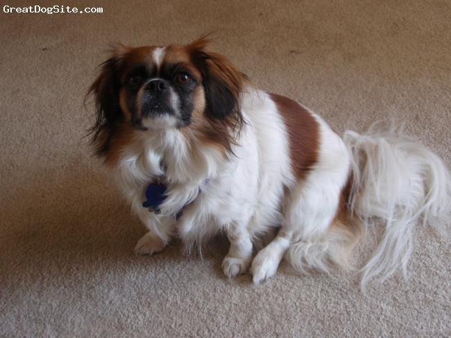 Peke-A-Pap, 5 years old, White with Brown, About 5 years old