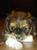 Peke-A-Poo, 6 wks, brown