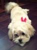 Peke-A-Poo, 8 months, Fawn/white