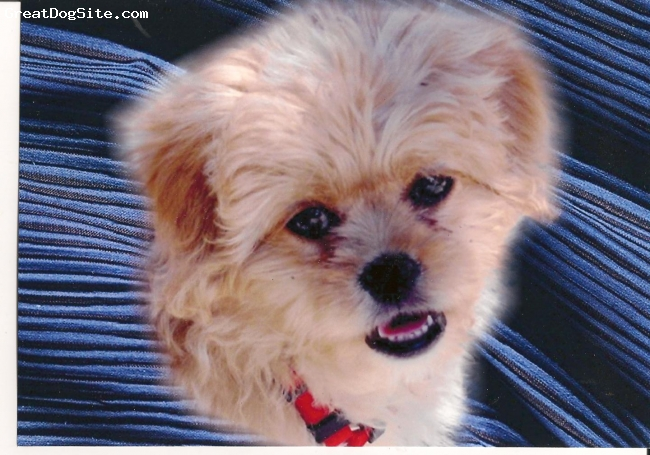 Peke-A-Poo, 3months, red, This little dog is so cute & smart. She saved my life after my Bichon died after 12 joyes life.