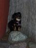 Pekehund