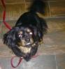 Pekehund, 9 mos, Black/Auburn/Tan