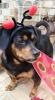 Pekehund, 7.5, Black and Tan