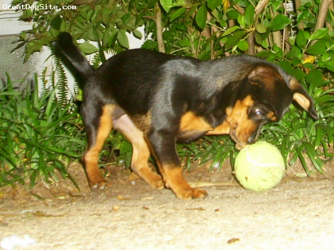 Pekehund, 19 months, Black & Tan, The Pekehund loves to play and has a heavy muscular body.