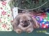 Pekingese, 10 years, taupe