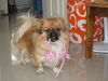 Pekingese, 2 years, yellow