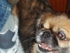 Pekingese, 13 years, brown-black-white