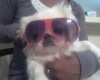 Pekingese, 9 months, white