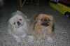 Pekingese, 2, mixed white fawn and black brown