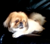 Pekingese, 1 1/2 year, brown
