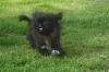 Pekingese, 6 mths, Black