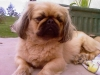 Pekingese, 31 months, Light Brown