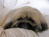 Pekingese, 7, tan/black