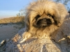 Pekingese, 7, black/gold