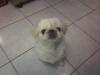 Pekingese, 5, white