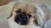 Pekingese, 15 months, light brown