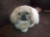 Pekingese, 1 Year, Light Brown