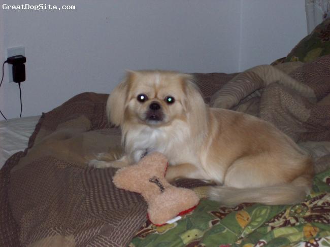 Pekingese, 4, Blonde, Cindy is playful, energetic.