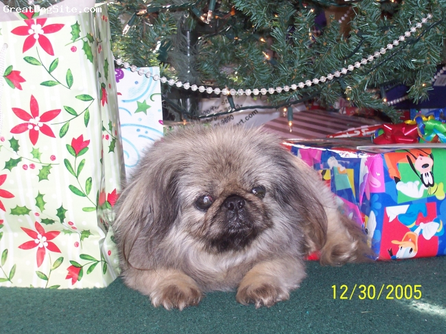 Pekingese, 10 years, taupe, adorable
