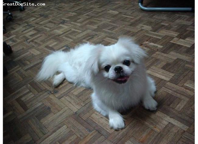 Pekingese, 3, White, - he is soooo cute!
