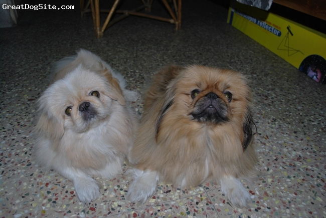 Pekingese, 2, mixed white fawn and black brown, They are two years old..very active boys....love to chicken and cream all the time..my fav brats love them....