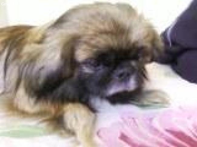 Pekingese, 2years, brown, sulking for another sweetie