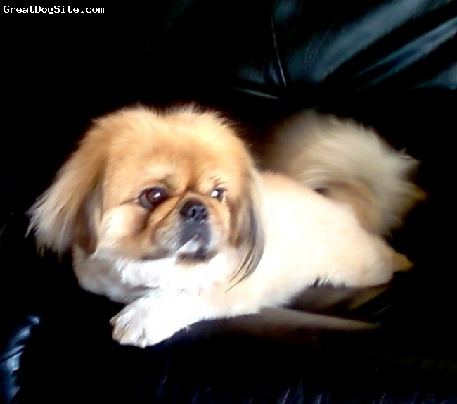 Pekingese, 1 1/2 year, brown, The master of the household