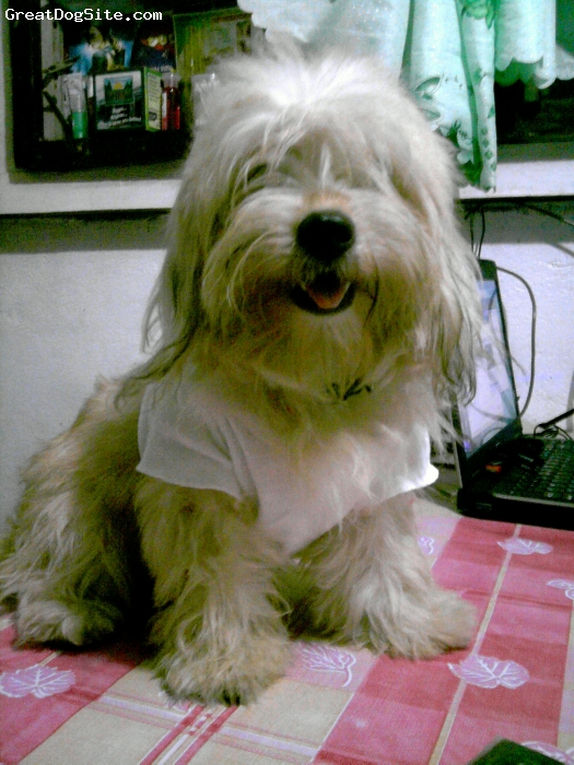 Pekingese, 8 months, brownish white, she's lovely and very sweet..