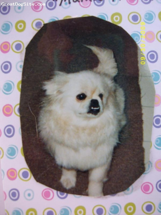Pekingese, 3 year old, creame white, This is Lady, my Pekingese. She is very outgoing, playful little dog. She doe not get along very well with female dogs but don't mind male dog at all. She get all excited up and want to fight female dog that can lead to seziure. So have to be real careful on that.