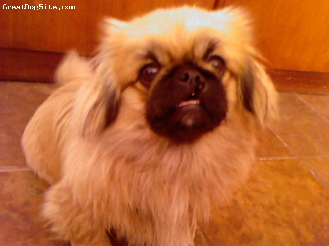 Pekingese, 7 months, Light Brown, My Angel