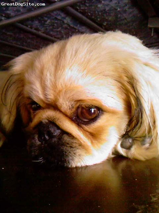 Pekingese, 14 months, Light Brown, My Angel