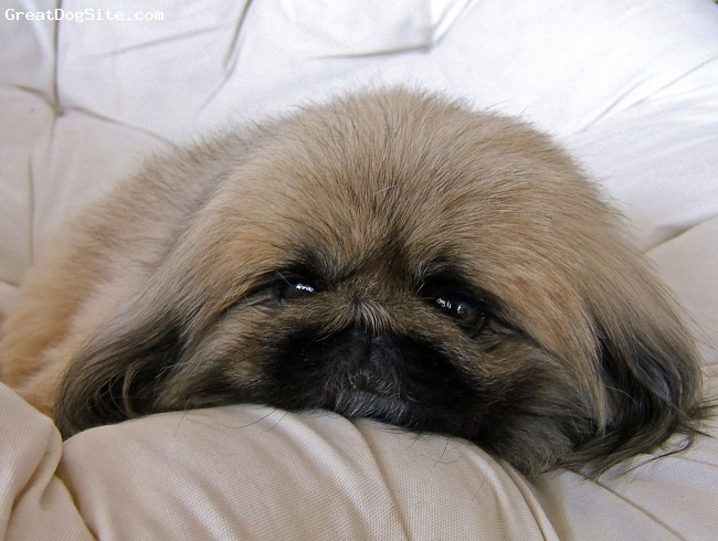 Pekingese, 7, tan/black, Calm, courageous, loyal, and very independent.