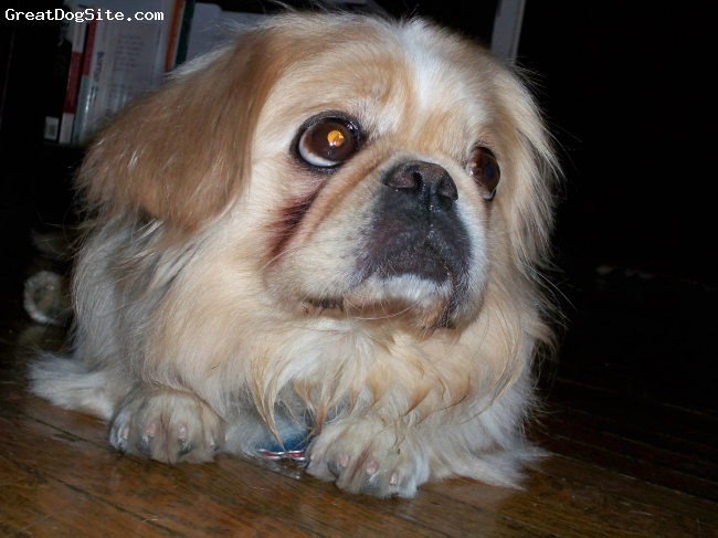 Pekingese, 6, Blonde, The cutest!!
