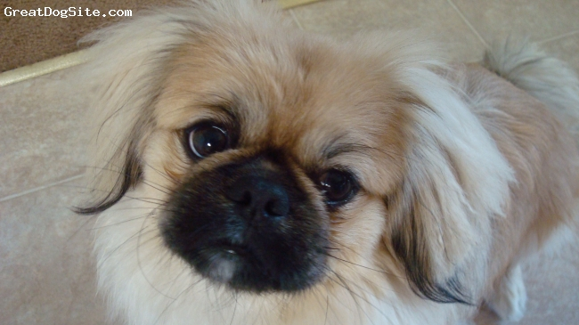 Pekingese, 15 months, light brown, Milo is a very sweet loving dog but he is a picky eater.
