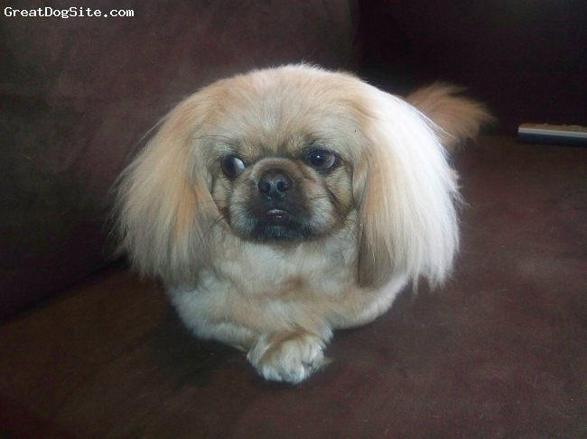 Pekingese, 1 Year, Light Brown, Sheila is a fabulous part of our family! She is play full and a wonderfull watch dog.  She loves playing with our cat Isis.