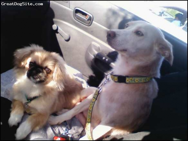 Pekingese, 9 months, Fawn, Black, and Cream, He is a total trip.  : )  Here he is with his best buddy Melody.
